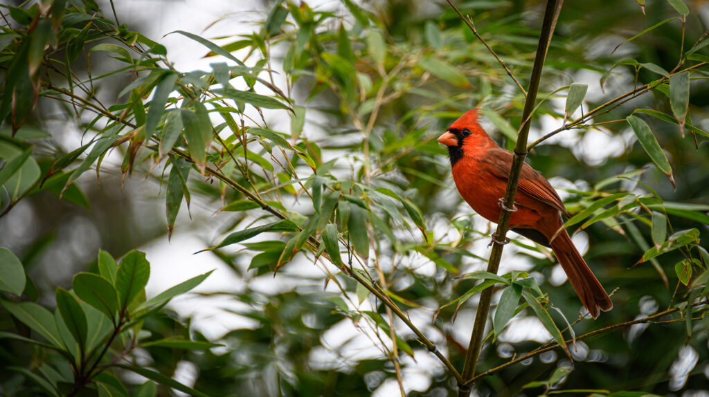Northern Cardinal best Birding in WNC